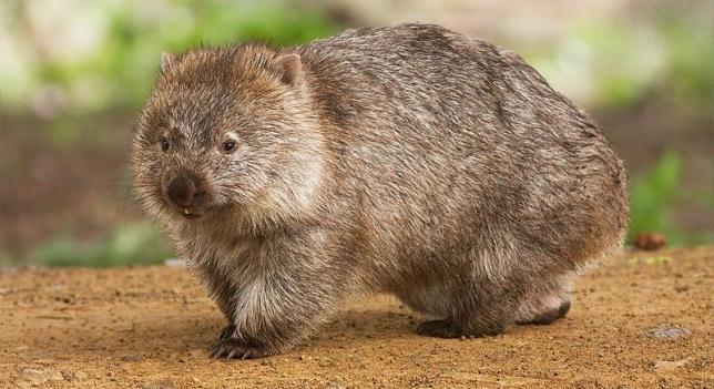 animales extraños el wombat