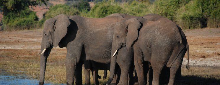 Elefante Africano de Sabana